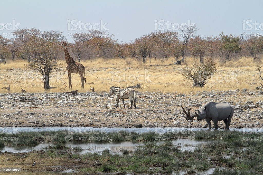 Black Rhino Black Rhino in the Etosha Park in Namibia stock photo