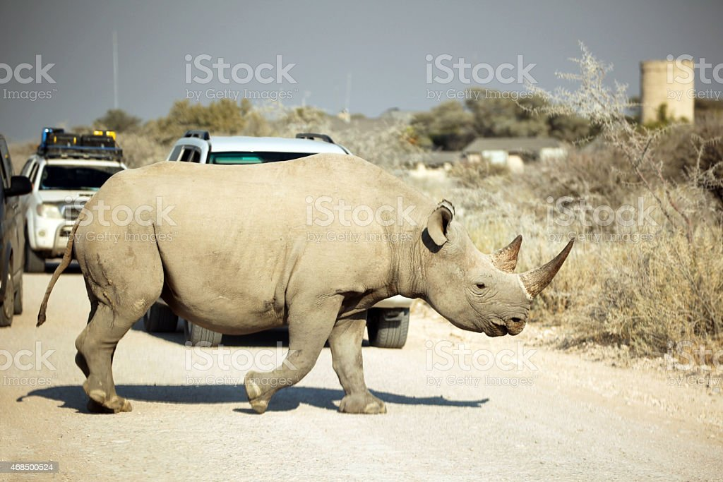 Black Rhino Crossing the Road in Etosha National Park stock photo