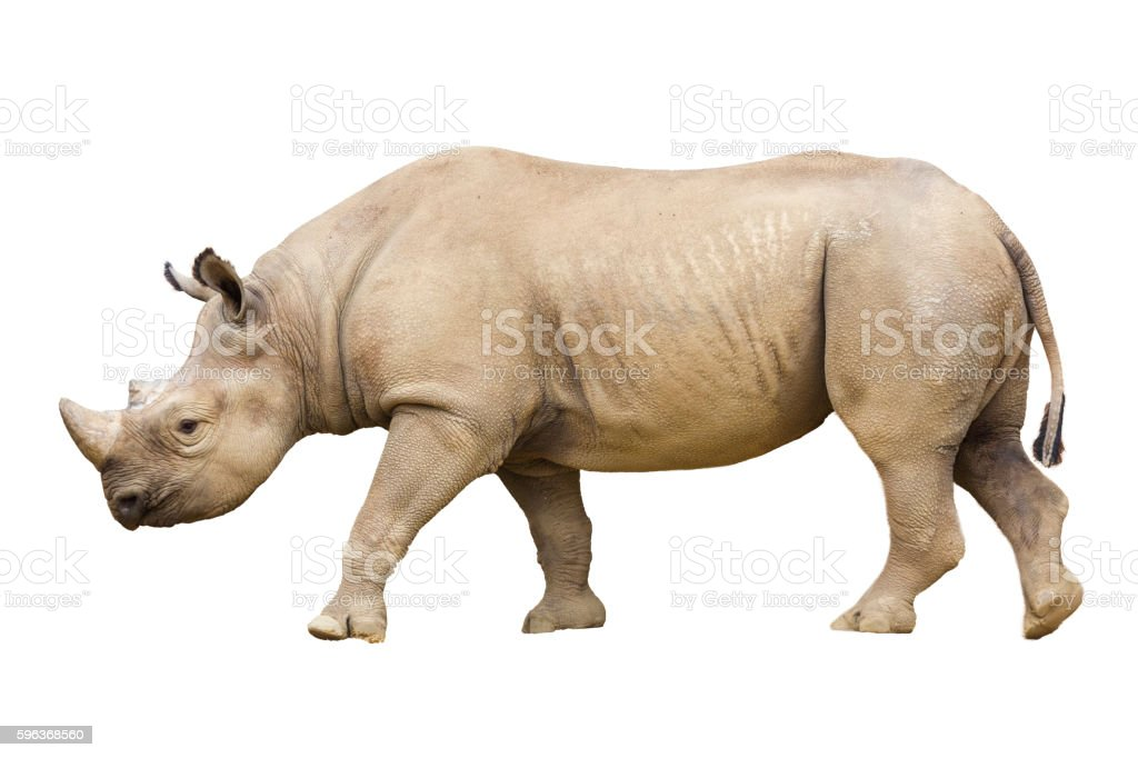 Black Rhino / Hook-lipped Rhinoceros, Diceros bicornis, isolated stock photo