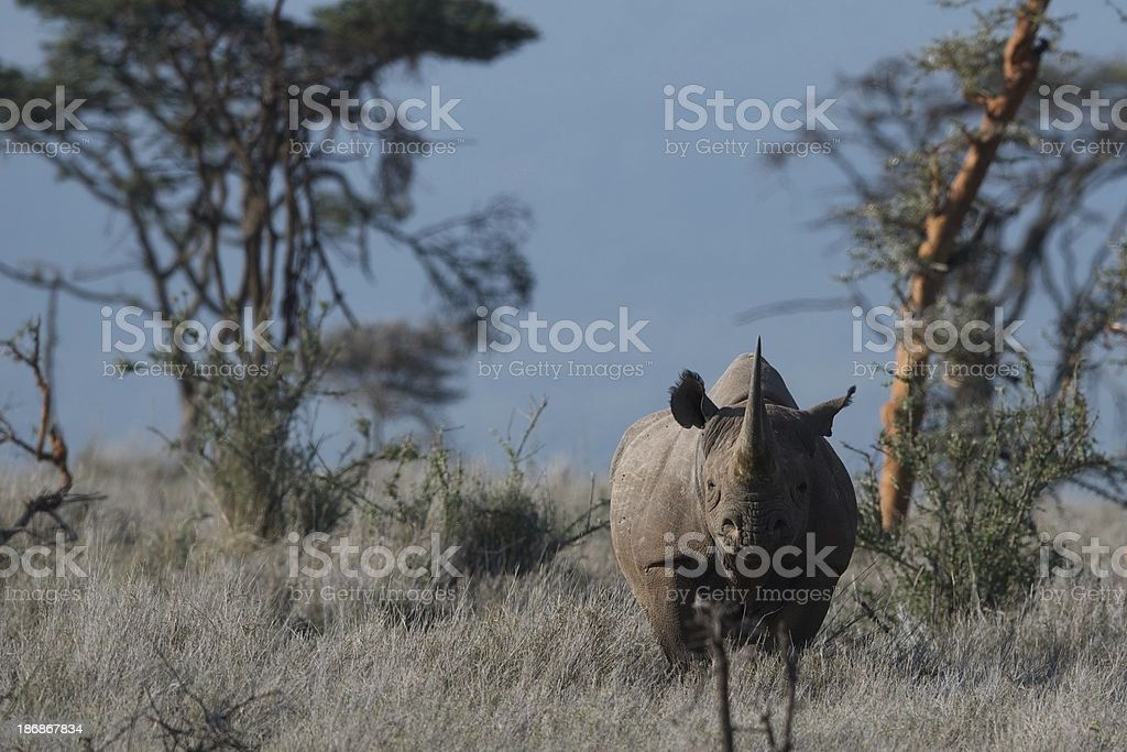 Black rhino in Kenya, Africa stock photo