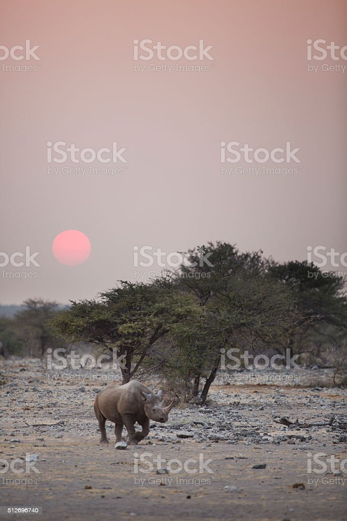 Black Rhino in the morning stock photo
