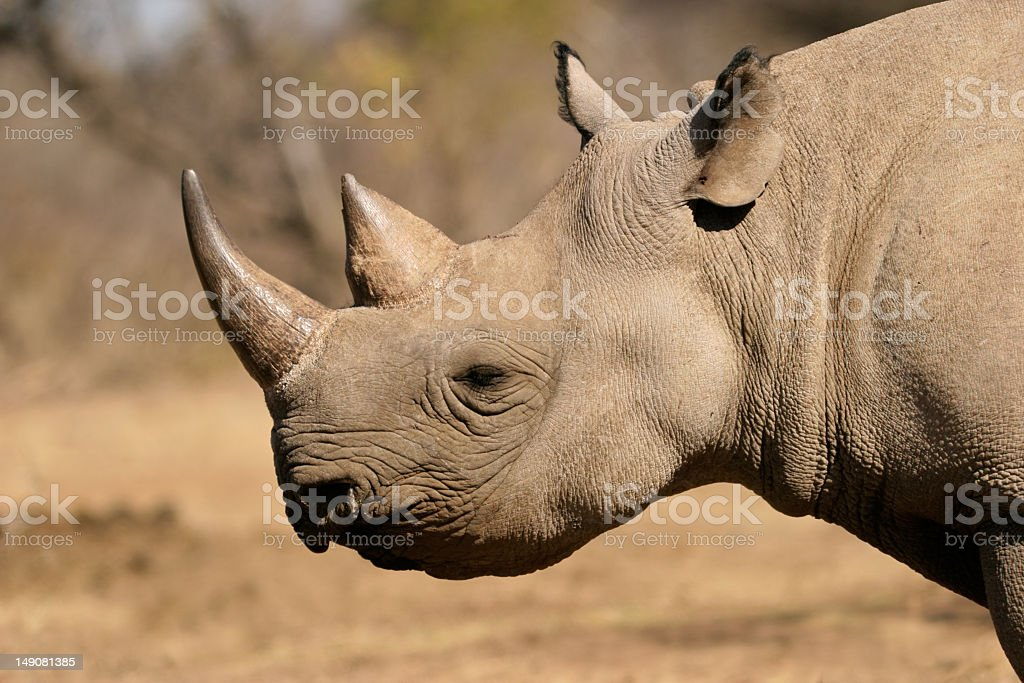 Black rhino looking on in the field stock photo