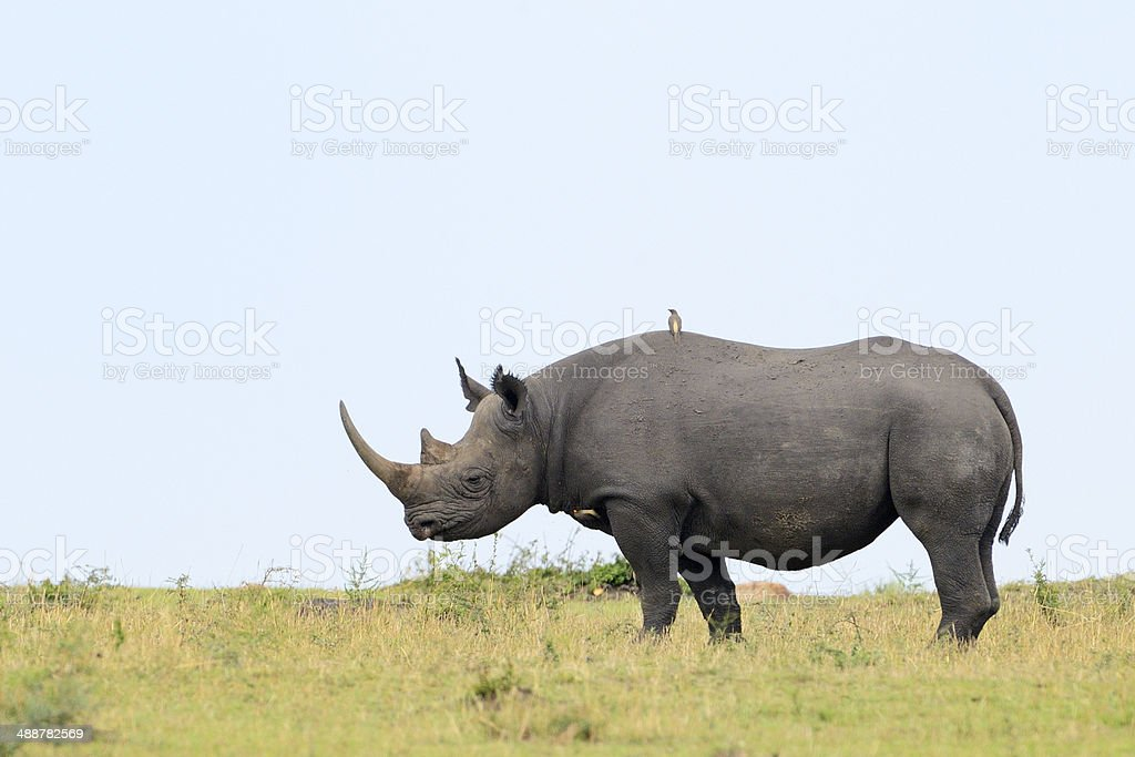 Black Rhino on grass, side view stock photo