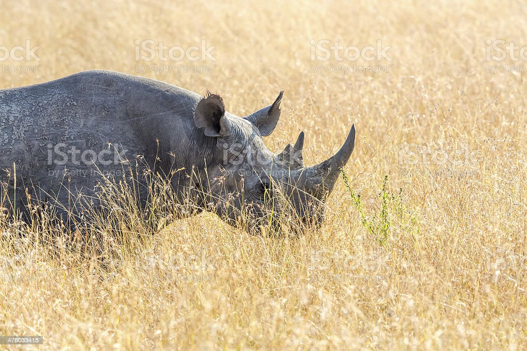 Black Rhino royalty-free stock photo