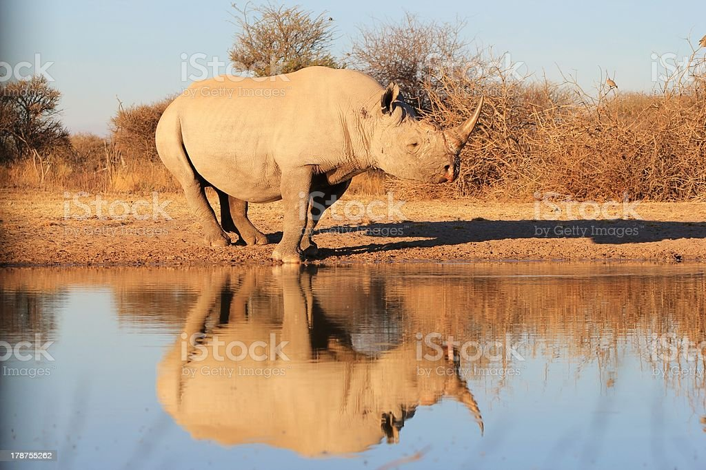 Black Rhino - Reflection of an Endangered Species stock photo