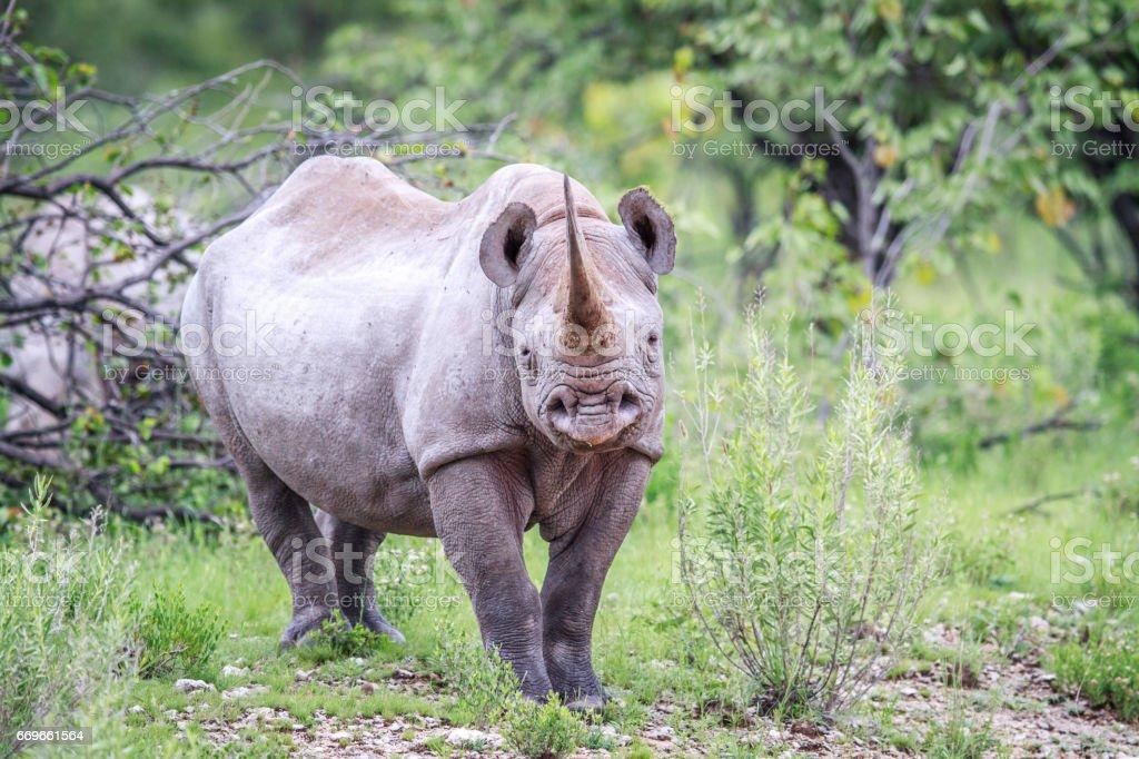 Black rhino starring at the camera. stock photo