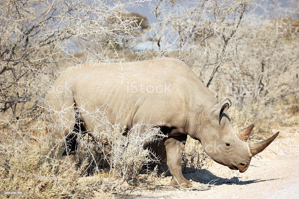 Black Rhino Walking on the Road in Etosha National Park stock photo
