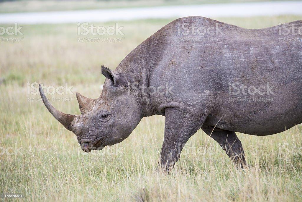 Black Rhino walking royalty-free stock photo