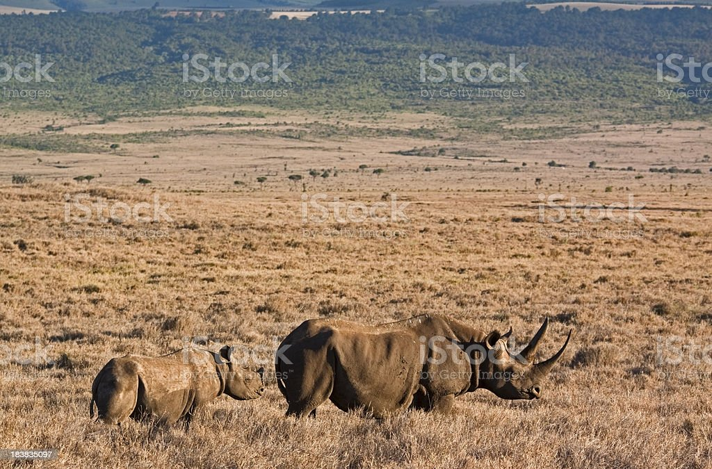 Black Rhino with Baby stock photo