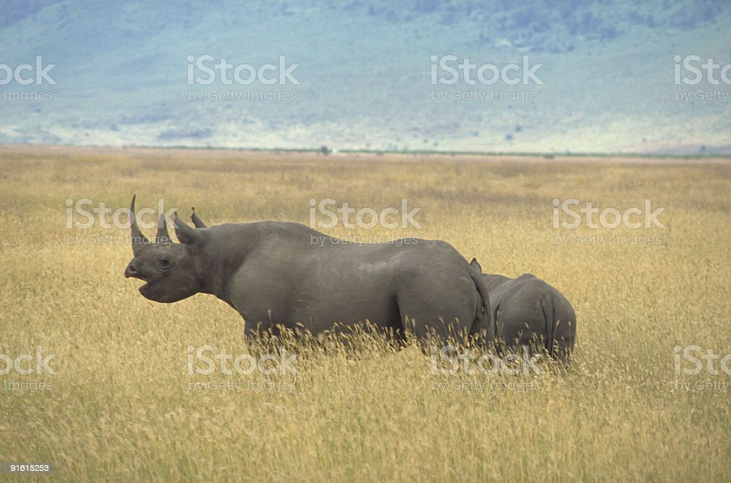 Black Rhinoceros and baby in African grasslands stock photo