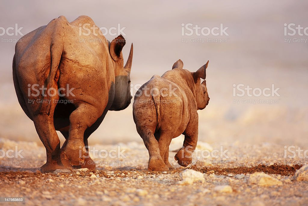 Black Rhinoceros baby and cow stock photo