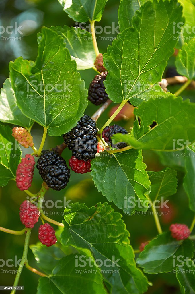 black ripe and red unripe mulberries stock photo