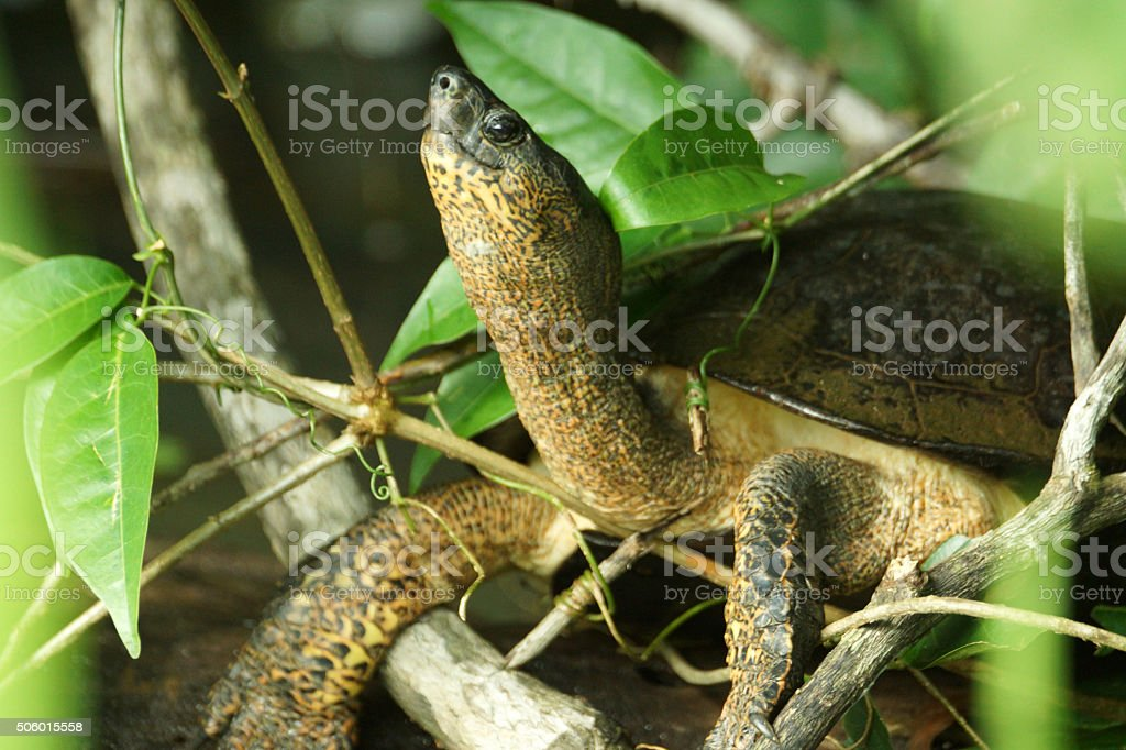 Black river turtle stock photo