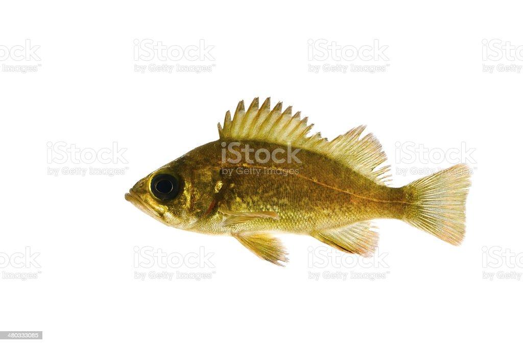 Black Rockfish-Sebastes sp. stock photo