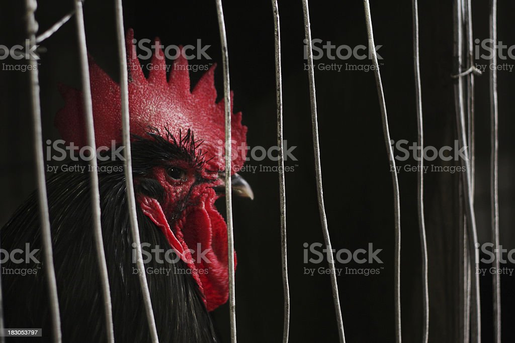 Black rooster in a birdcage stock photo
