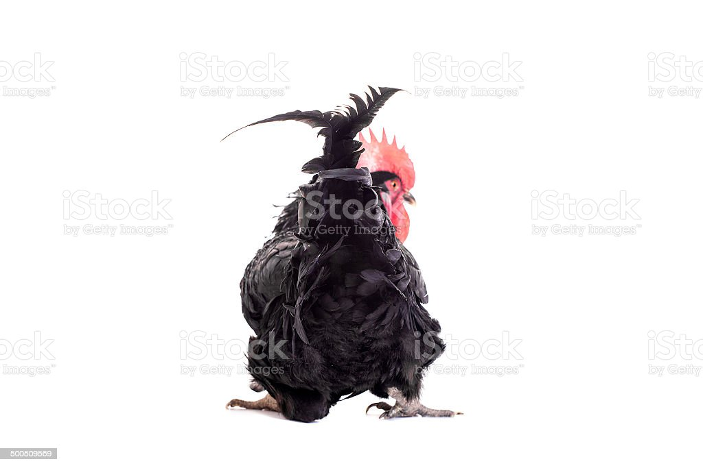 Black rooster on white royalty-free stock photo