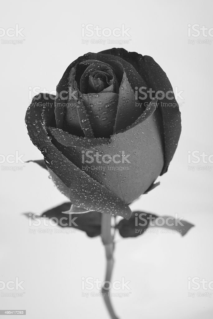 black rose flower, Black and White image stock photo
