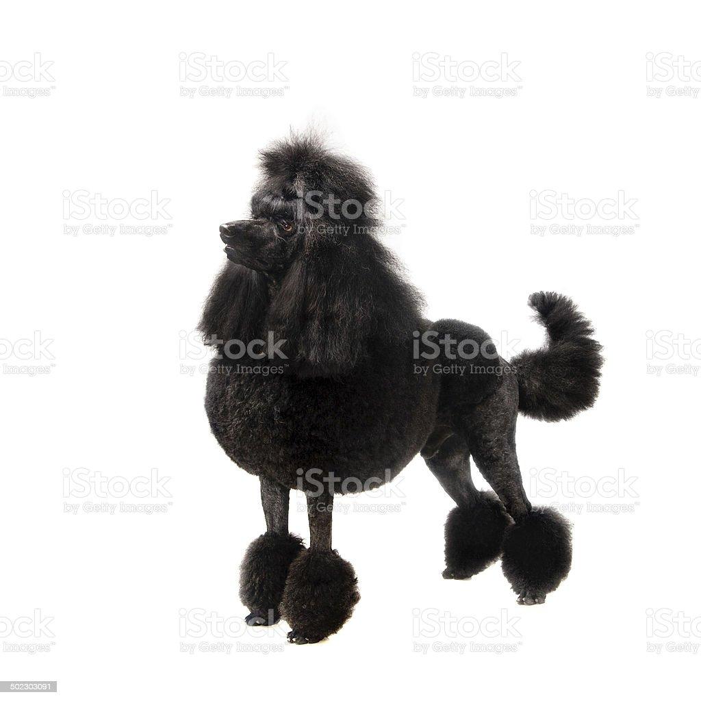 Black Royal poodle on white stock photo