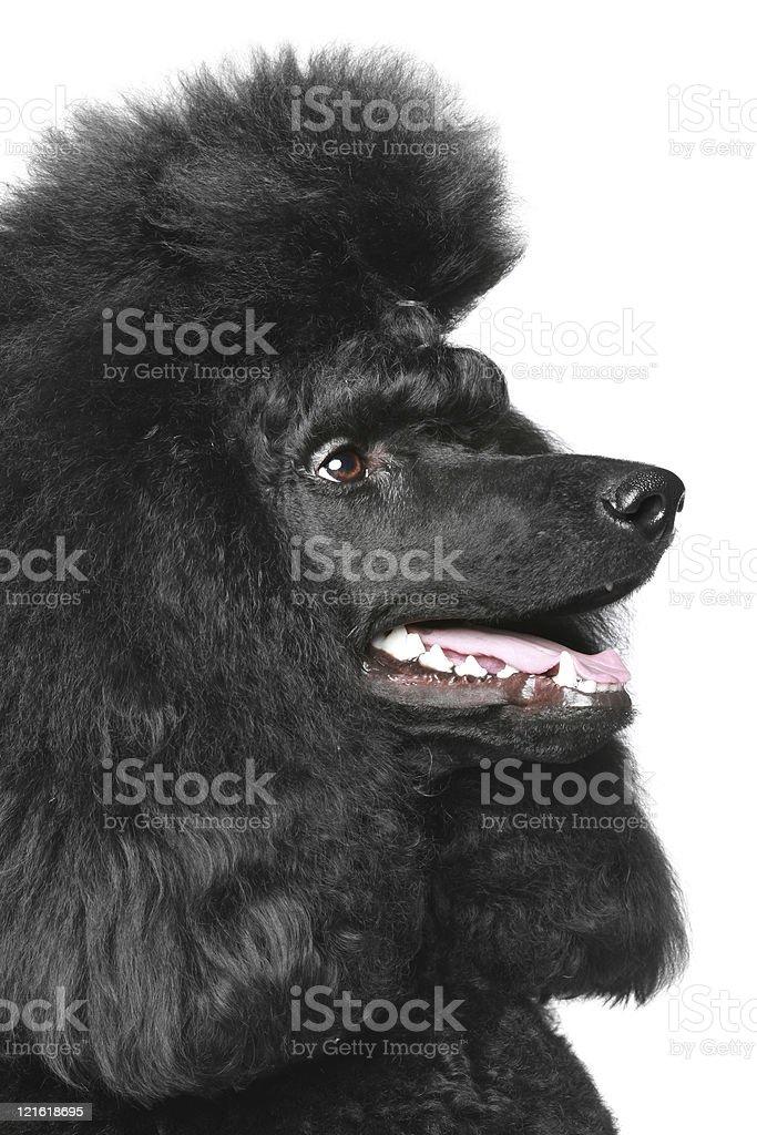 Black Royal poodle portrait (side view) stock photo