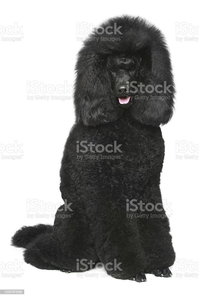 Black Royal poodle sitting stock photo