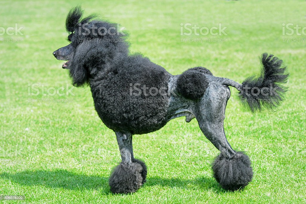 Black royal poodle standing on green field. stock photo
