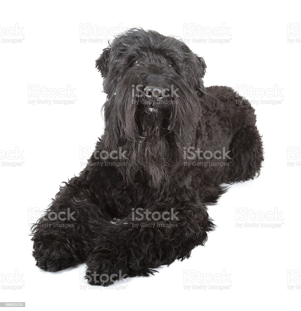 black russian terrier royalty-free stock photo