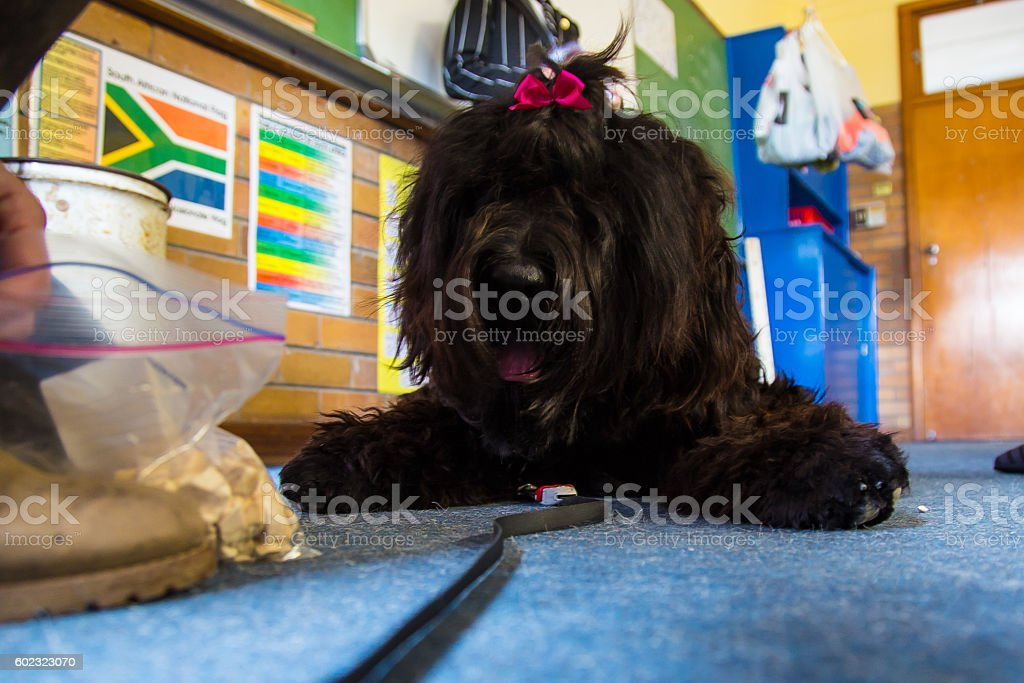 Black Russian Terrier stock photo