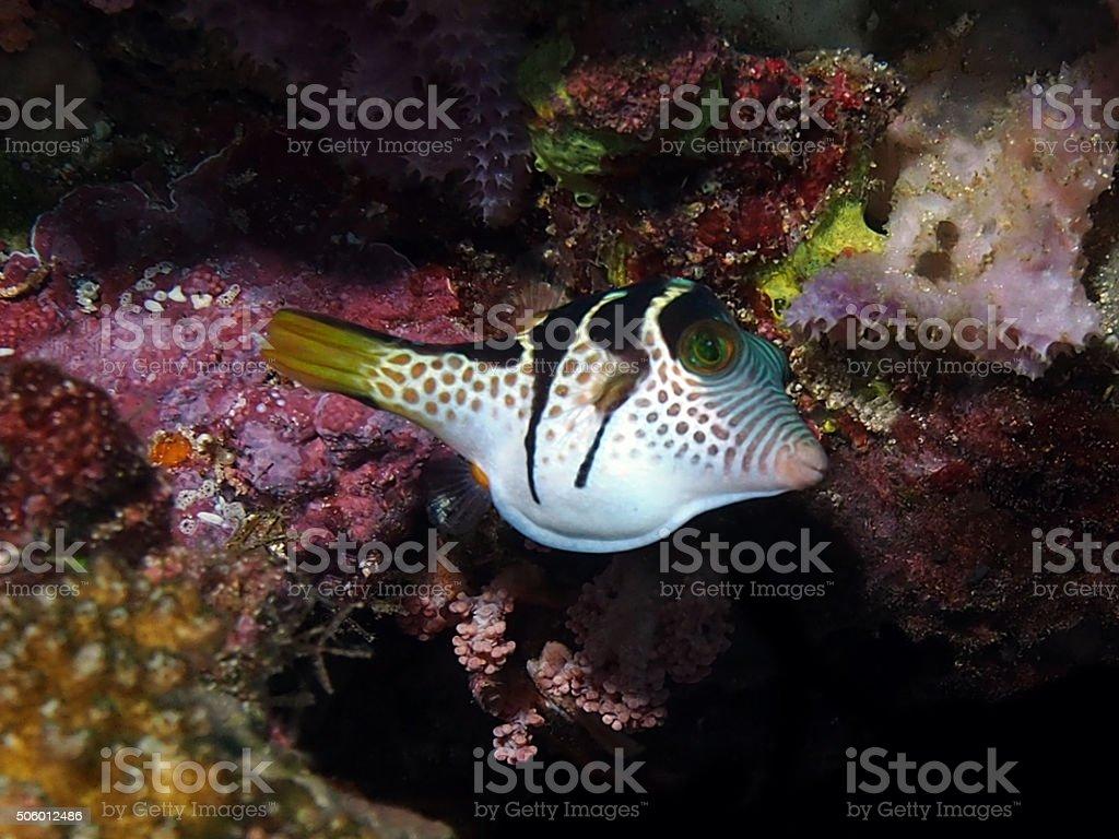 Black Saddled Pufferfish stock photo