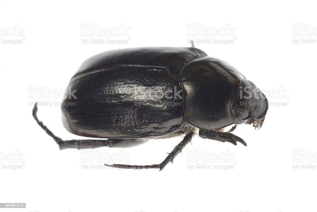 black scarab beetle royalty-free stock photo