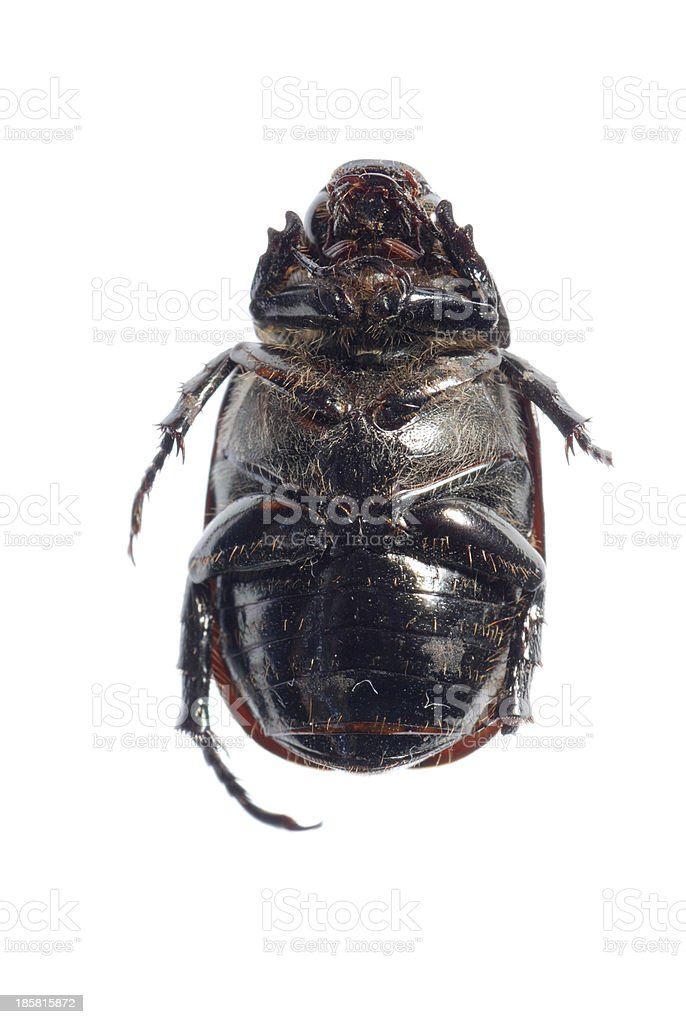 black scarab beetle royalty-free stock photo