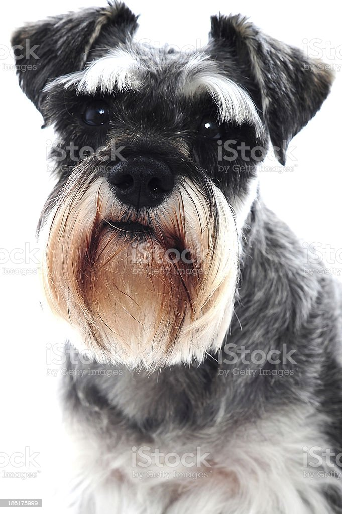 Black Schnauzer dog stock photo