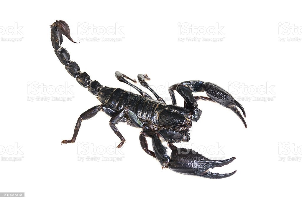 Black Scorpion isolated stock photo