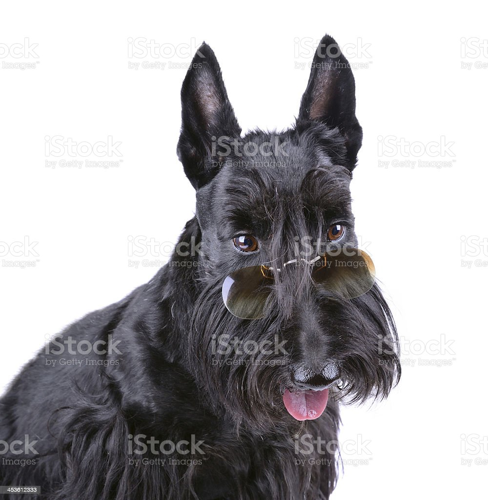 Black Scotch terrier royalty-free stock photo