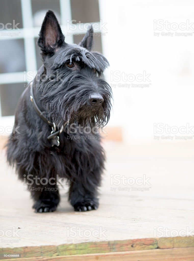 Black scotch-terrier dog sitting on the desk stock photo