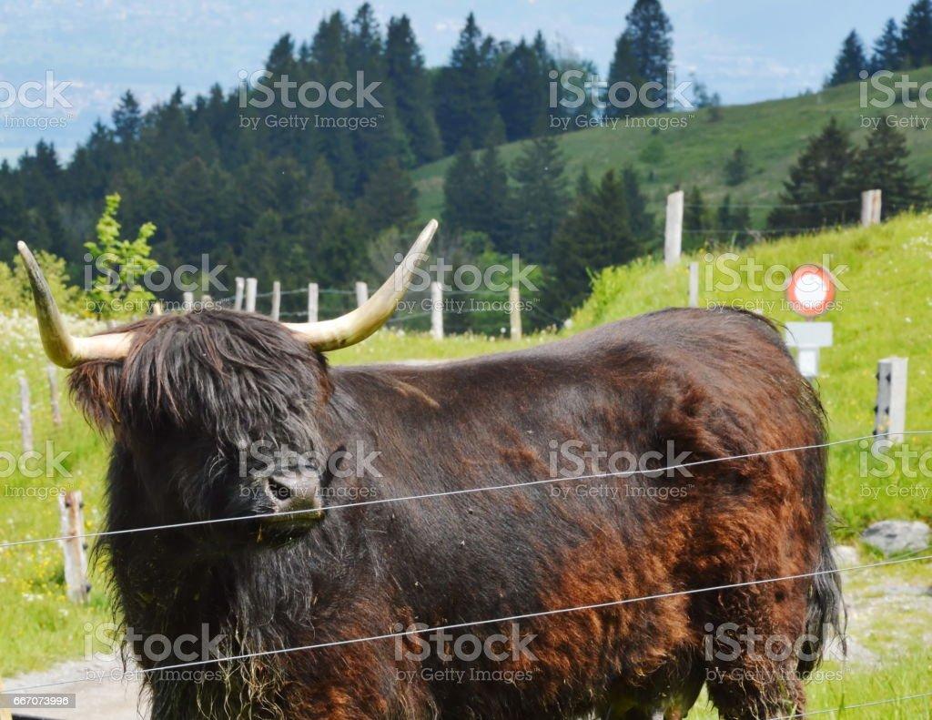 black Scottish cattle in farm stock photo