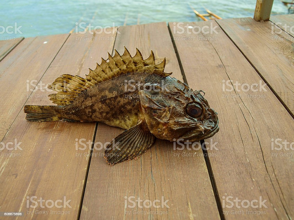 Black Sea Scorpaena - ruff stock photo