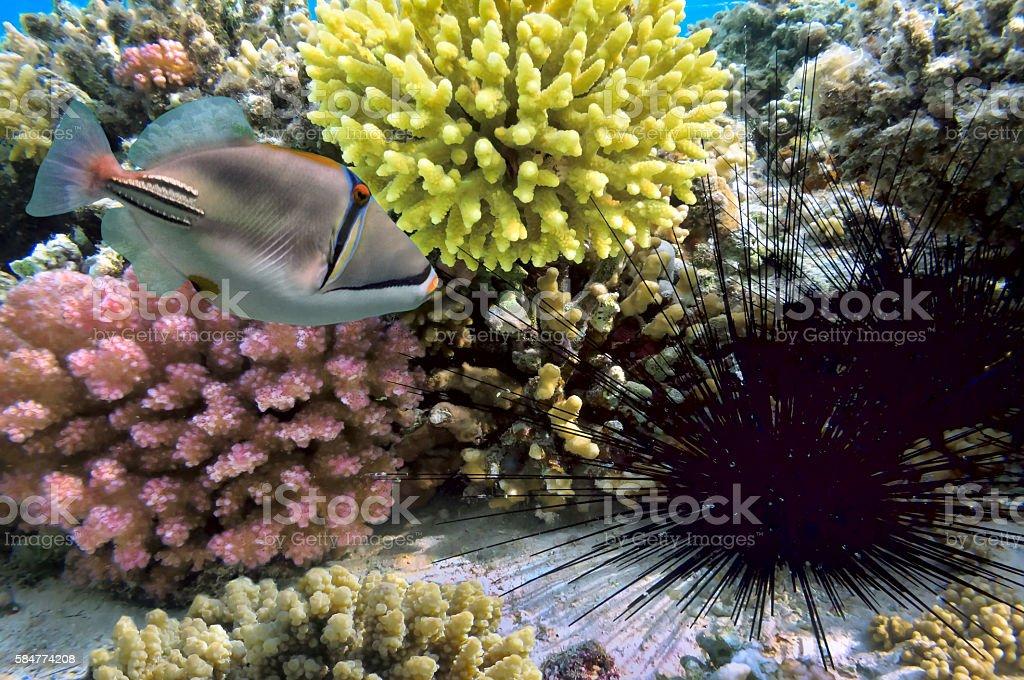 Black sea urchin stock photo