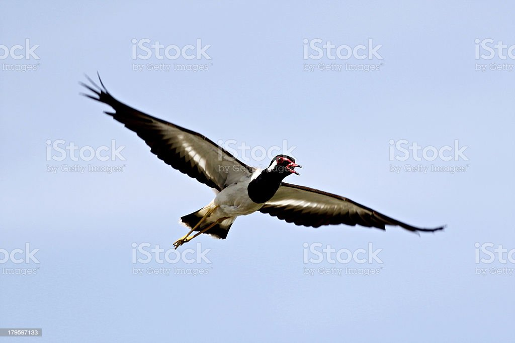 Black Seagull flying in the sky at high speed. royalty-free stock photo