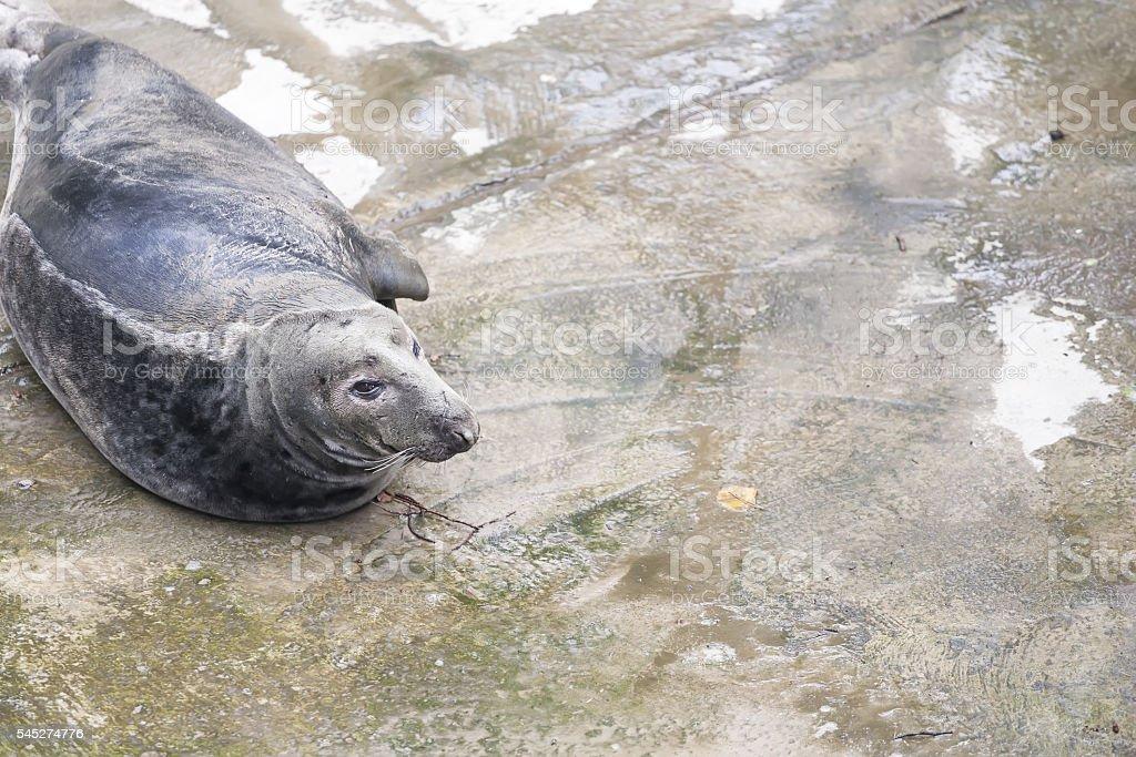 Black seal on a concrete pavement. Copy space. stock photo