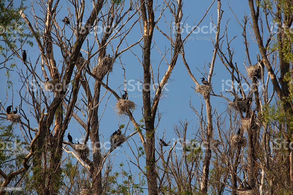 Black shag nests on the trees on a Dnipro river stock photo