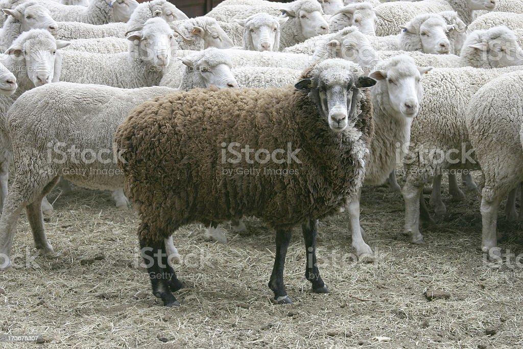 Black sheep 3 royalty-free stock photo