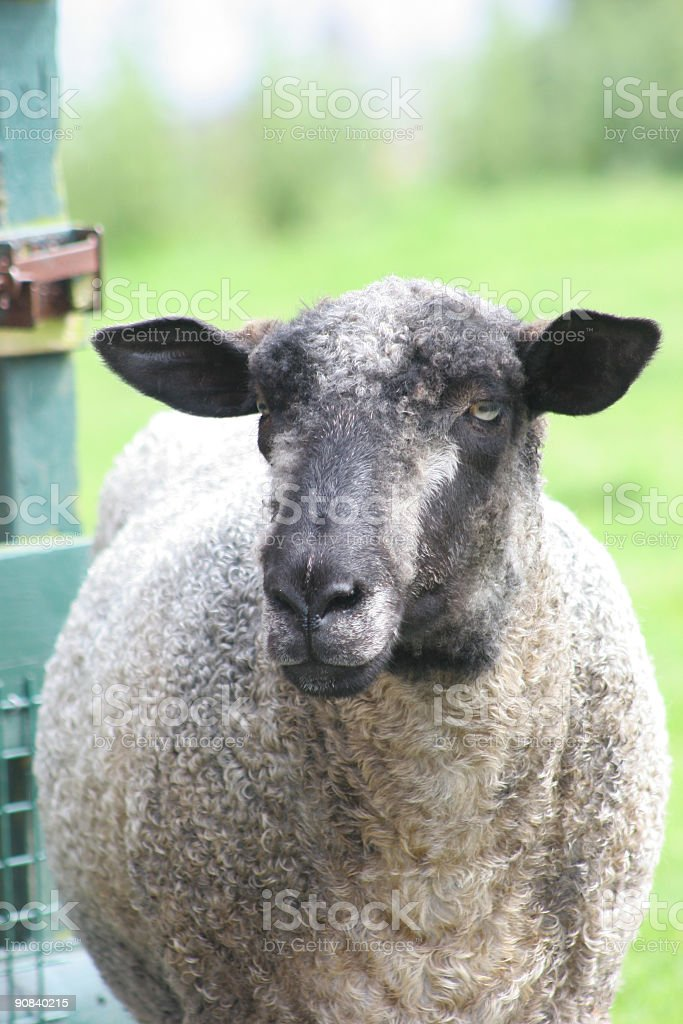 Black Sheep by gate royalty-free stock photo
