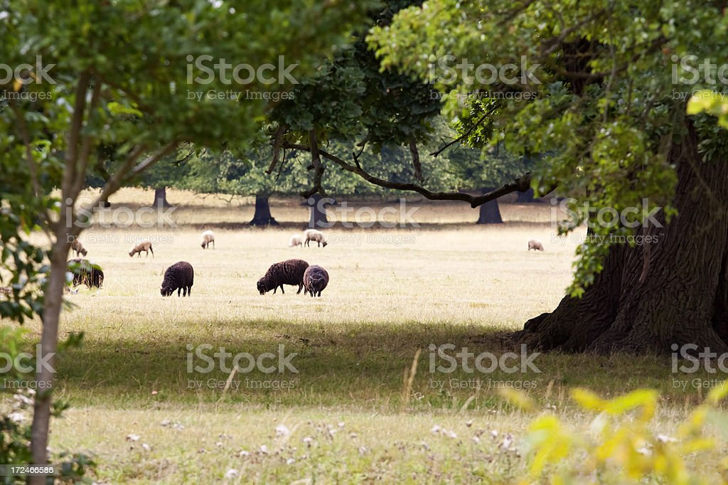 Black Sheep in the Family stock photo