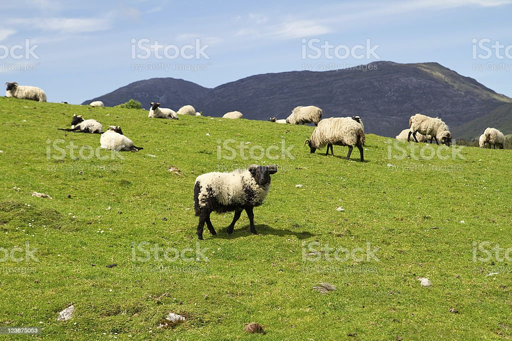 Black sheep in the flock stock photo