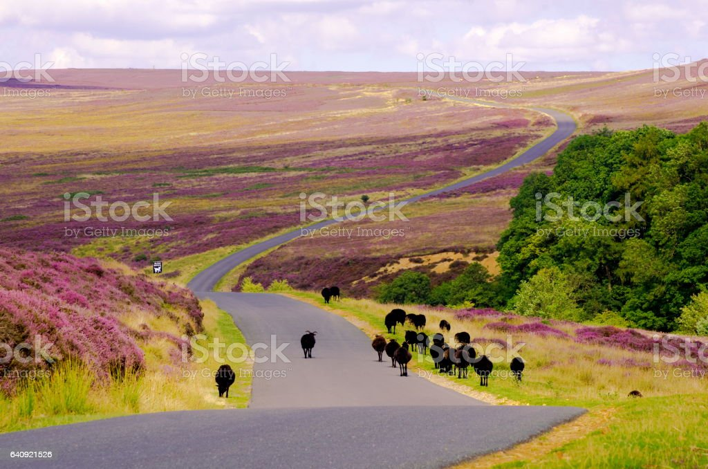 Black Sheep on Spaunton Moor, North York Moors stock photo