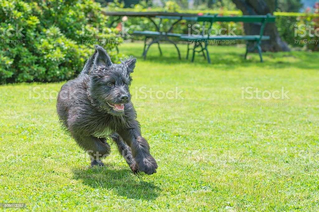 Black shepherd dog running stock photo