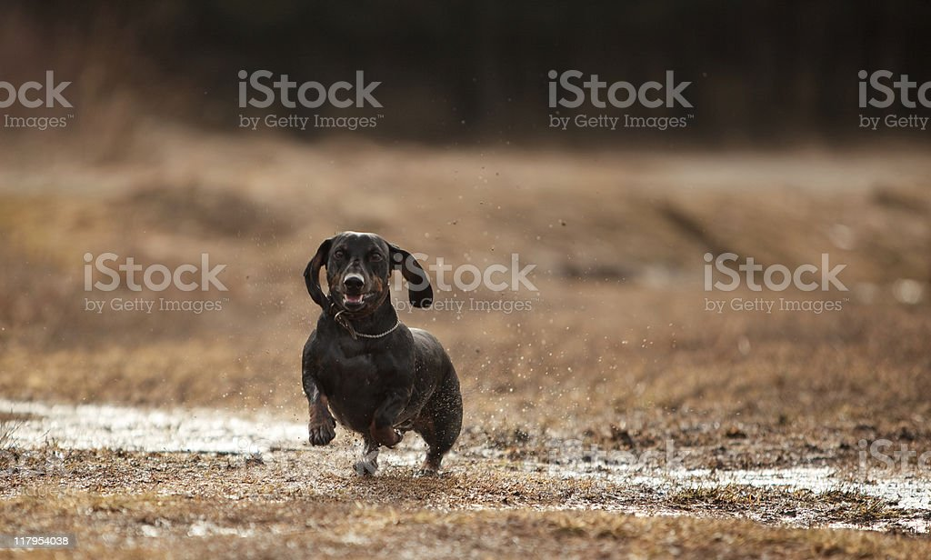 Black short haired badger dog on the dry grass royalty-free stock photo