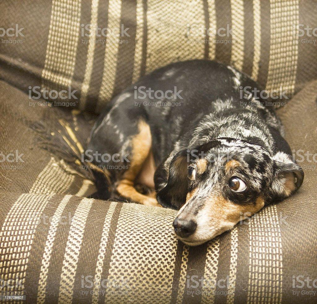 Black short-haired dachshund royalty-free stock photo