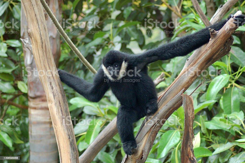 Black Siamang stock photo