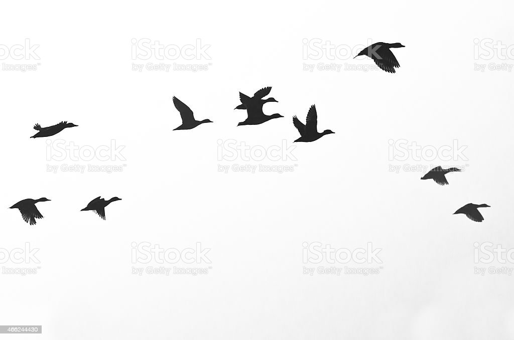 Black silhouettes of birds on a white background stock photo